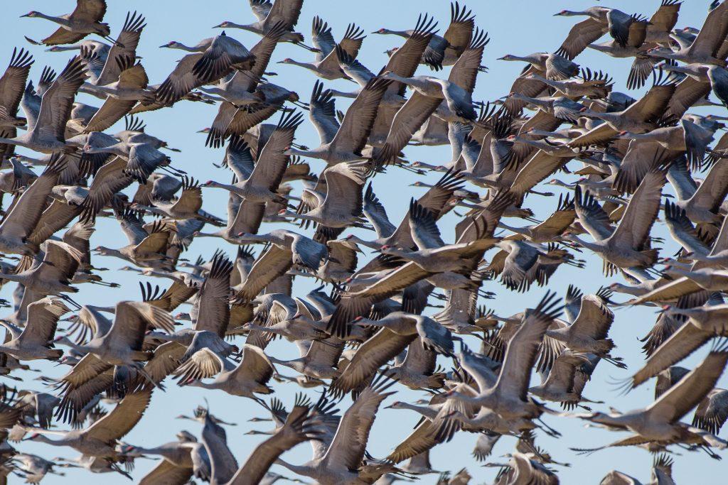 Sandhill cranes in Monte Vista, Colorado.