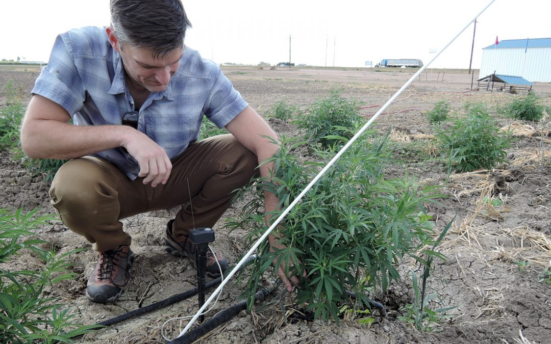 Is hemp's water-saving rep deserved? Colorado researchers launch wave of testing to find out
