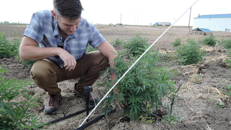 SIEP project manager, Jacon VonLembke points out one of the micrometer sensors that alerts them to changes in the hemp plant's diameter related to stressors like dehydration. Credit: Hannah Leigh Myers